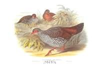 Galloperdix Zeylonensis Fine Art Print