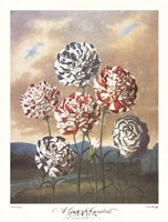 A Group of Carnations Fine Art Print