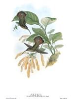 Glaucis Lanceolata/Hummingbirds Framed Print