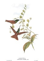 Diphogena Aurora/Hummingbirds Framed Print