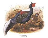 Swinhoe's Pheasant Fine Art Print