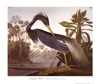 Louisiana Heron Framed Print