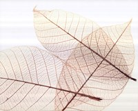 Sheer Leaves III Fine Art Print