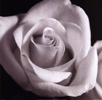 Open Rose Fine Art Print