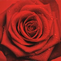 Red Rose Fine Art Print