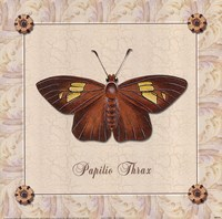 Papilio Thrax Framed Print
