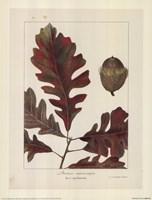 Over-Cup White Oak Fine Art Print