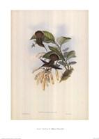 Glaucis Lanceolata Framed Print