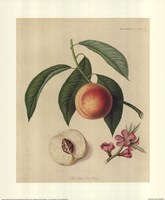 Acton Scott Peach Fine Art Print
