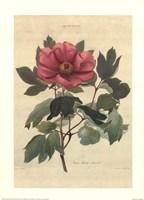 Peonia Moutan Anneslei Fine Art Print