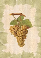 Antique Grapes - Terret Blanc Fine Art Print