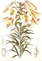 Lilium Centifolium Fine Art Print