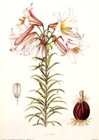 Lilium Regale Fine Art Print
