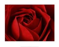 L'Important, c'est la Rose Fine Art Print