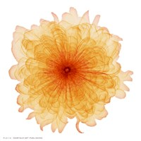 Orange Chiffon Fine Art Print