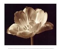 Champagne Tulip III Fine Art Print