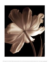 Champagne Tulip II Fine Art Print