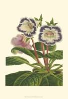 Gloxinia Garden I Fine Art Print