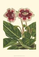 Gloxinia Garden III Fine Art Print
