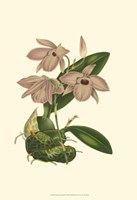 Blushing Orchids III Fine Art Print