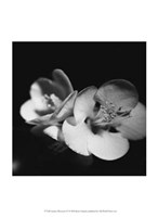 Quince Blossoms IV Fine Art Print