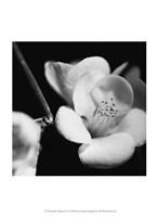 Quince Blossoms V Fine Art Print