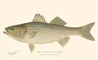 Striped Bass Fine Art Print