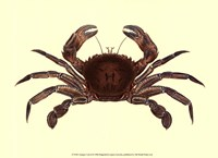 Antique Crab II Fine Art Print