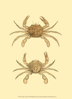Antique Crab III Fine Art Print