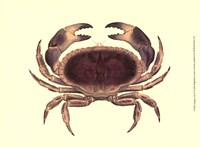 Antique Crab IV Fine Art Print