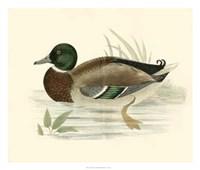 Ducks I Giclee