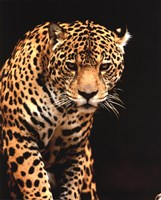 Leopard - photo Fine Art Print