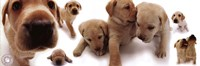Dogs - Labrador Framed Print