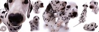 Dogs - Dalmatians Framed Print