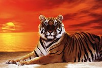 Tiger - sunset Framed Print