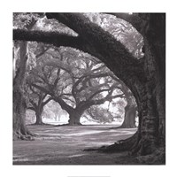 Oak Alley, West Row Fine Art Print