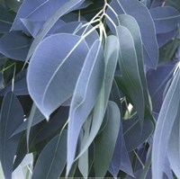 Eucalyptus Leaves Fine Art Print