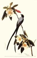 Fork-Tailed Flycatcher Fine Art Print