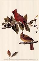 Northern Cardinal Fine Art Print