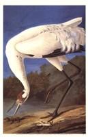 Whooping Crane Fine Art Print
