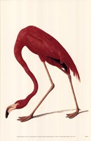 Greater Flamingo Fine Art Print