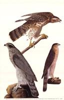 Northern Goshawk Fine Art Print