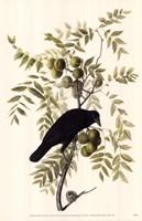American Crow Fine Art Print