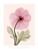 Iceland Poppy I Framed Print