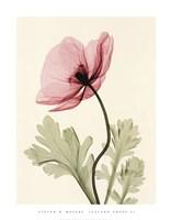 Iceland Poppy II Fine Art Print