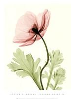 Iceland Poppy II (Med) Fine Art Print
