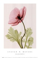 Iceland Poppy II (Sm) Fine Art Print
