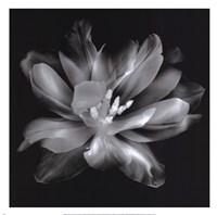 Radiant Tulip III Framed Print