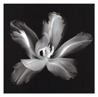 Radiant Tulip IV Framed Print