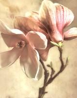 Pink Magnolia I Framed Print